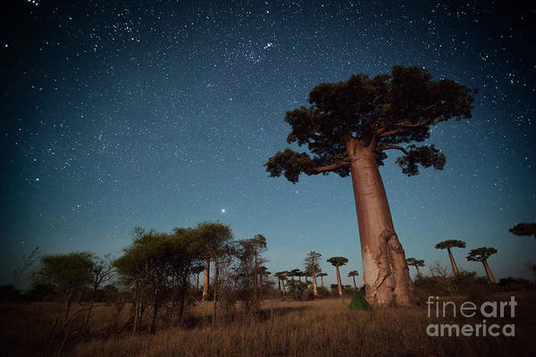 Wild Grass Photograph - Starry Sky And Baobab Trees Highlighted by Dudarev Mikhail