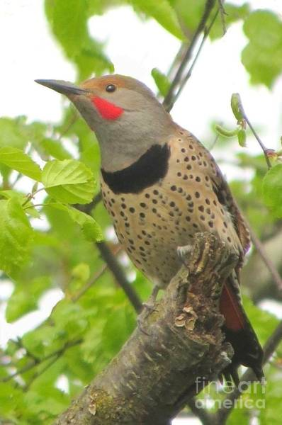 Northern Flicker Photograph - Stately Flicker by Frank Townsley