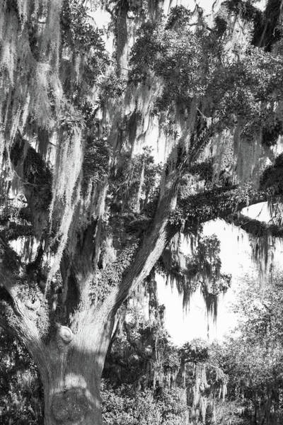 Photograph - Stately Moss Draped Live Oak Black And White by MM Anderson