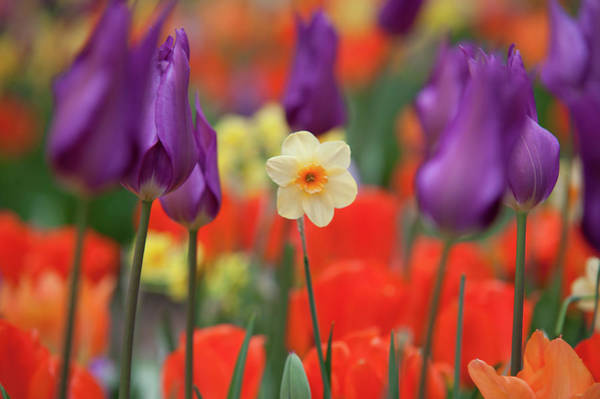Photograph - Staying Proud. Narcissus Among Purple Tulips  by Jenny Rainbow