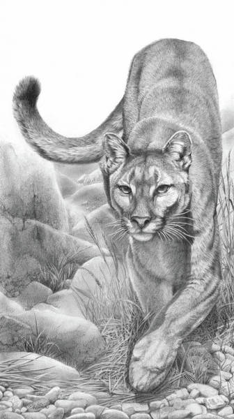 Drawing - Stealth Mountain Lion Cougar Drawing by Peter Williams