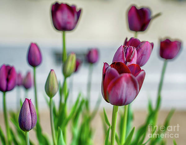 Artsy Photograph - Steckborn Tulips by DiFigiano Photography