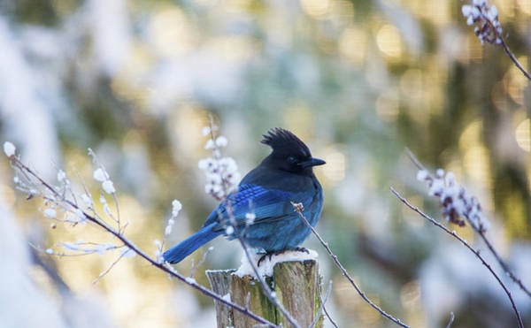 Photograph - Stellar Jay In The Snow by Rory Sagner