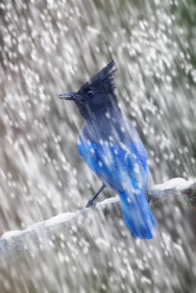 Digital Art - Stellars Jay In Falling Snow by Mark Miller