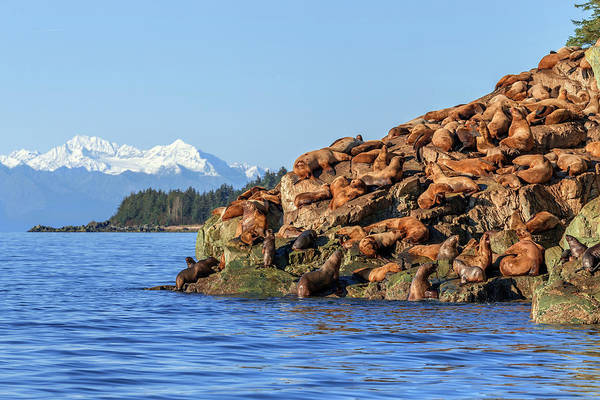 Wall Art - Photograph - Steller Sea Lion  Eumetopias Jubatus by John Hyde
