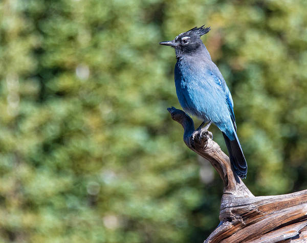 Photograph - Stellers Jay 1 by Rand