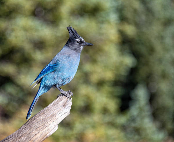 Photograph - Stellers Jay by Rand