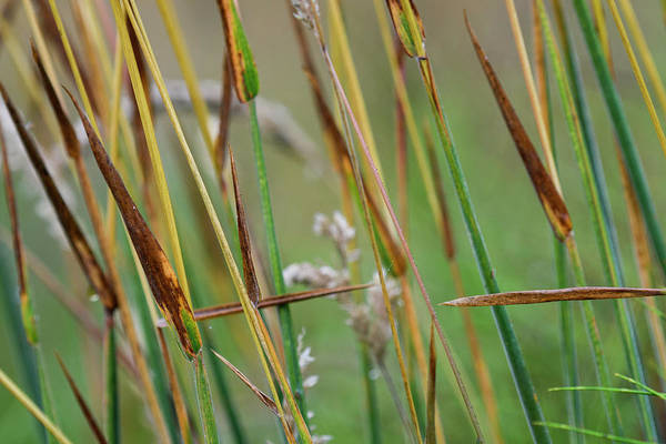Photograph - Stems Of Grass by Robert Potts