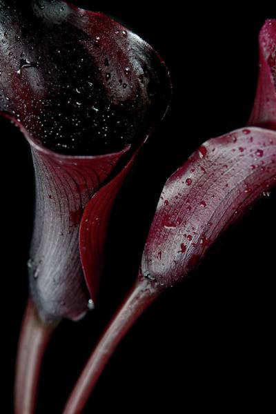 Photograph - Still-life Of Dark, Organic, Red Calla by Elizabeth Waugh