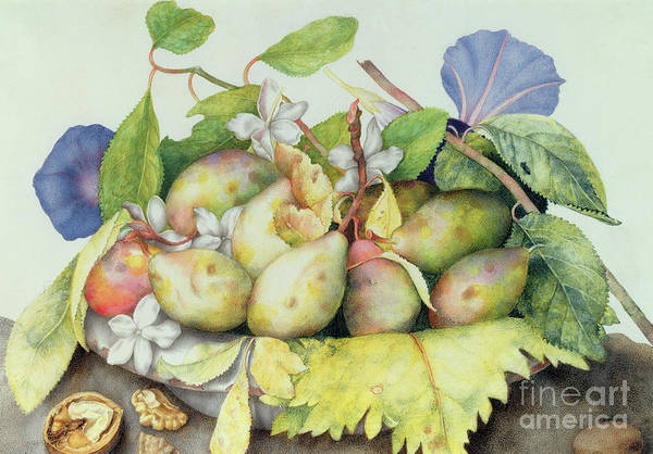 Wall Art - Painting - Still Life With Plums, Walnuts And Jasmine by Giovanna Garzoni