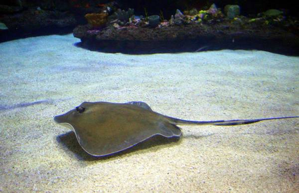 Photograph - Stingray by Cynthia Guinn