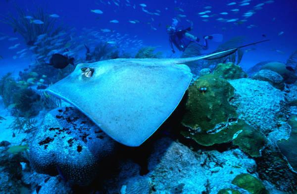 Scuba Diving Photograph - Stingray Off The Florida Coast by Greg Johnston