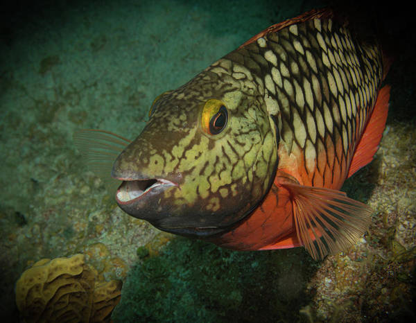 Photograph - Stoplight Parrot Fish by Jean Noren
