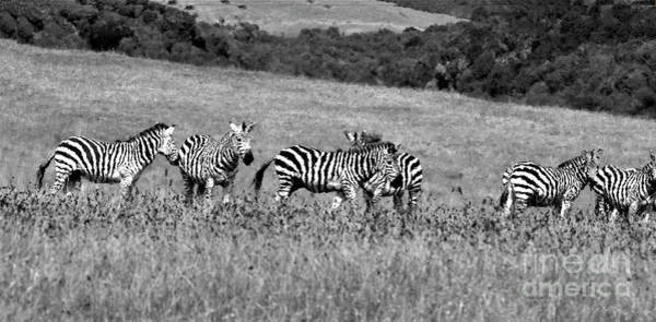 Wall Art - Photograph - Stopped By The Road To Watch The Zebras by Debby Pueschel