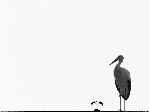 Photograph - Stork by Pvicens
