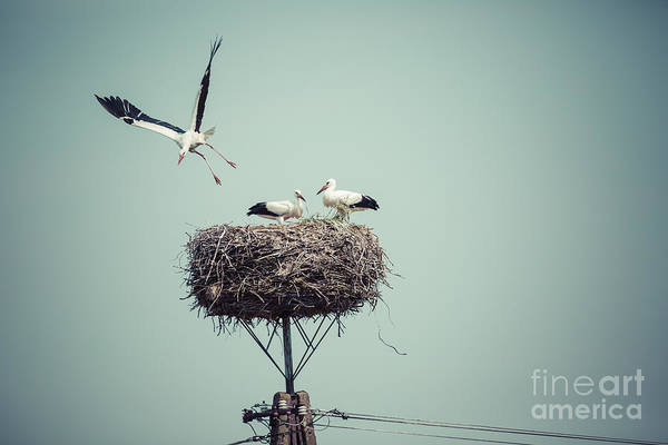 Nest Wall Art - Photograph - Stork With Baby Birds In The Nest by Curioso