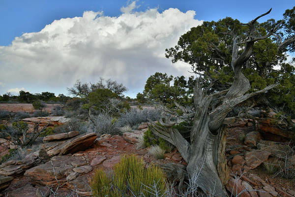 Photograph - Storm Cloud Over Canyonlands Juniper by Ray Mathis