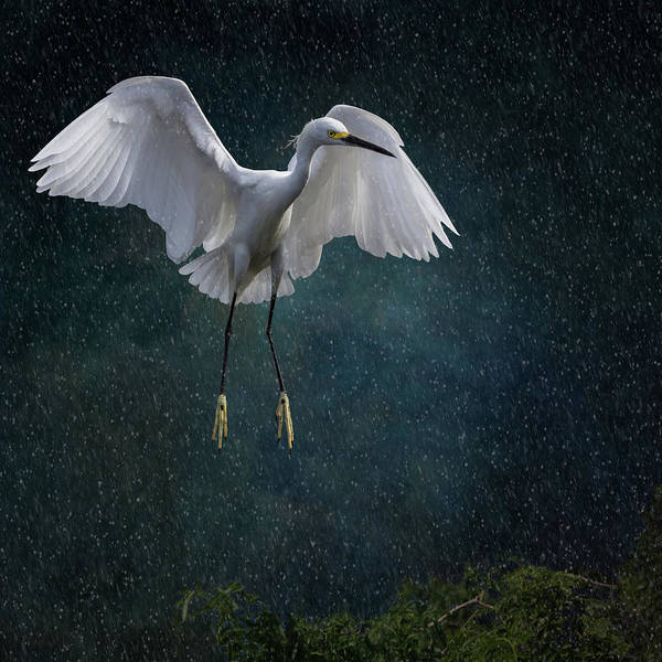 Night-heron Photograph - Stormy Snowy Egret by Melinda Moore