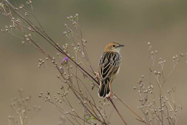 Photograph - Stout Cisticola by Thomas Kallmeyer