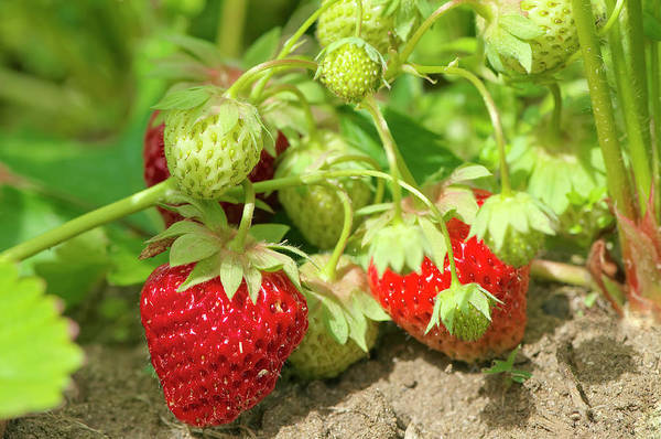 Photograph - Strawberries In The Garden by Sharon Talson