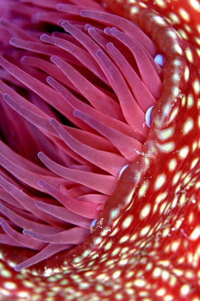 Invertebrate Wall Art - Photograph - Strawberry Anemone, Actinia Fragacea by Oxford Scientific