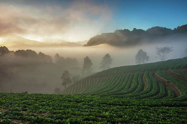 Trees In Fog Photograph - Strawberry Farm by Nutexzles