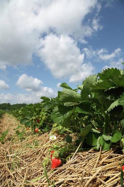 Strawberry Fields Wall Art - Photograph - Strawberry Field by Antimartina