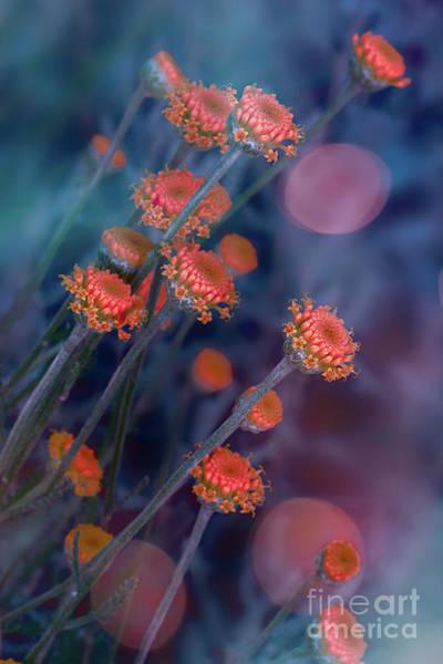 Photograph - Strawflowers by Susan Warren