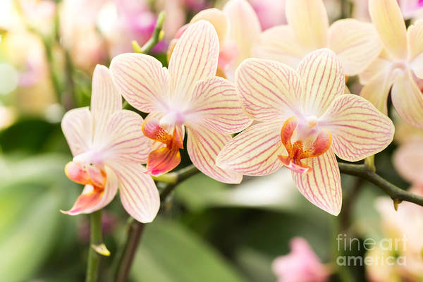 Streaked Orchid Flowers. Beautiful Art Print