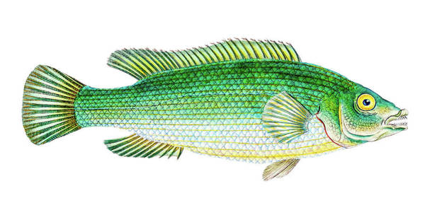 Drawing - Streaked Wrasse  by David Letts