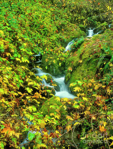 Photograph - Stream In Fall Color Redwood Trail State Park Oregon by Dave Welling