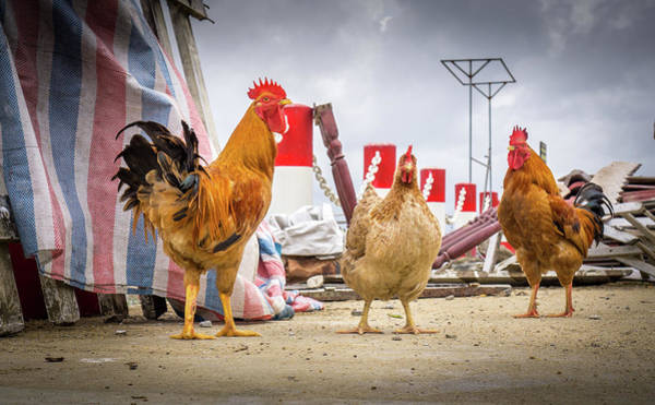 Photograph - Street Chickens by Gary Gillette
