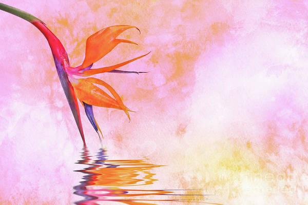 Wall Art - Photograph - Strelitzia On Pink by Delphimages Photo Creations