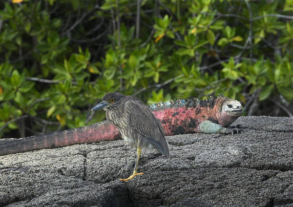 Wall Art - Photograph - Striated Heron And Marine Iguana by Michael Lustbader