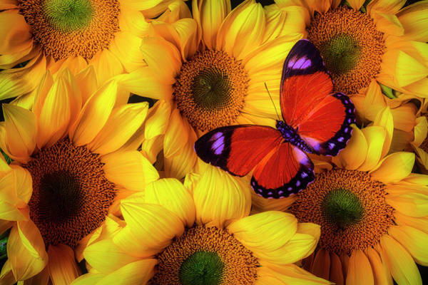 Photograph - Striking Orange Butterfly On Sunflowers by Garry Gay
