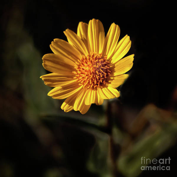 Juxtaposition Photograph - Striking Wild Sunflower by Robert Bales