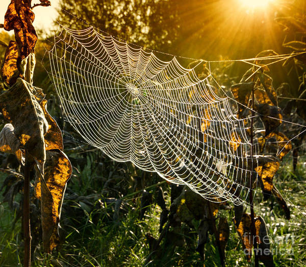 Wall Art - Photograph - Strings Of A Spiders Web In Back Light by Budimir Jevtic