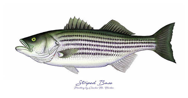 Maine Wall Art - Painting - Striped Bass by Charles Harden