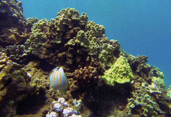 Photograph - Striped Butterfly Fish by Anthony Jones