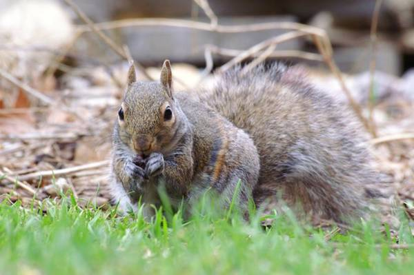 Photograph - Striped Squirrel Eating by Don Northup