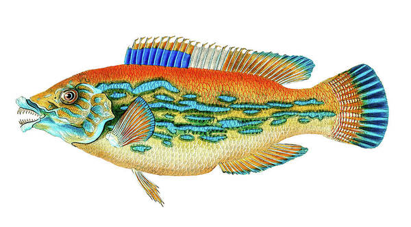 Drawing - Striped Wrasse  by David Letts