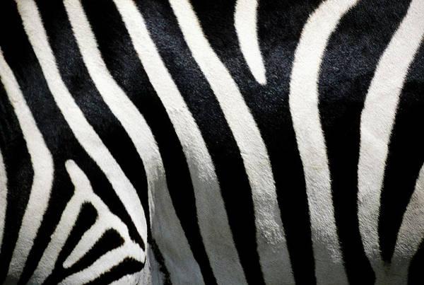 Horizontal Stripes Photograph - Stripes On Zebra, Extreme Close-up by Medioimages/photodisc