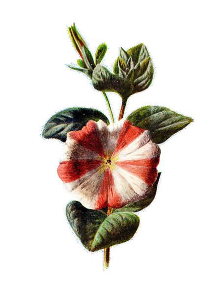 Wall Art - Mixed Media - Stripped Petunia Flower by Naxart Studio