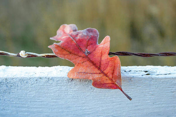 Wall Art - Photograph - Stuck Leaf by Todd Klassy