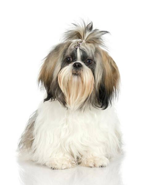 Lap Dog Photograph - Studio Portrait Of Shih Tzu Dog by Jupiterimages
