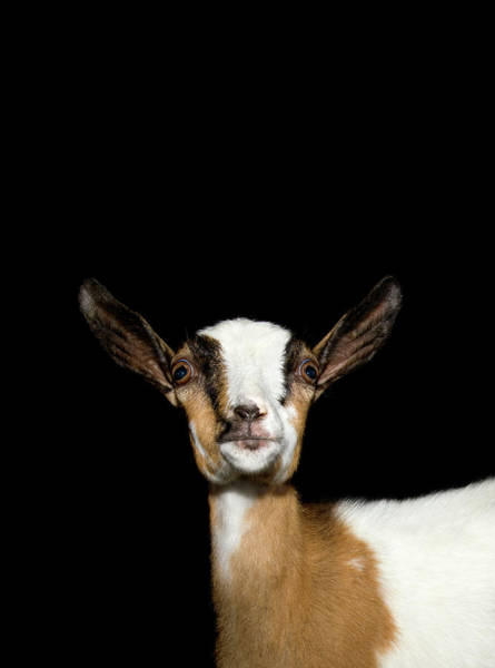 Photograph - Studio Shot Goat Looking Up by Michael Duva