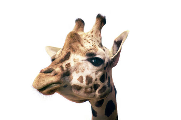 Photograph - Studio Shot Of A Giraffe Close Up by Michael Duva