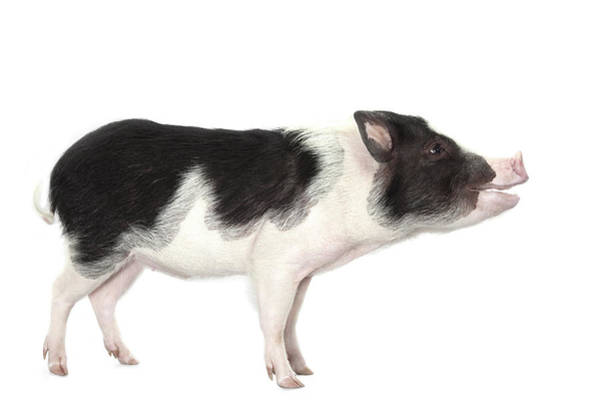 Pig Photograph - Studio Shot Of A Pig, Profile, Smiling by Michael Duva