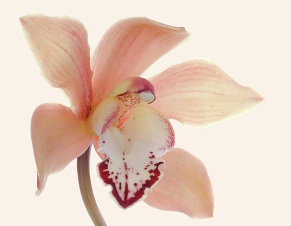 Cymbidium Photograph - Studio Shot Of A Single Bloom Cymbidium by Margaret Rowe