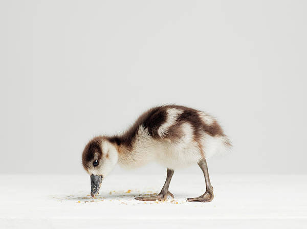 Duckling Photograph - Studio Shot Of Duckling Eating Crumbs by Roger Wright